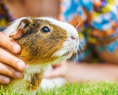 CBD For Guinea Pigs