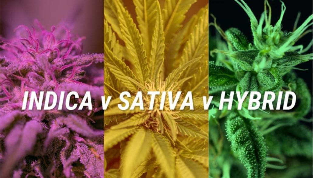 Indica vs Sativa vs Hybrid