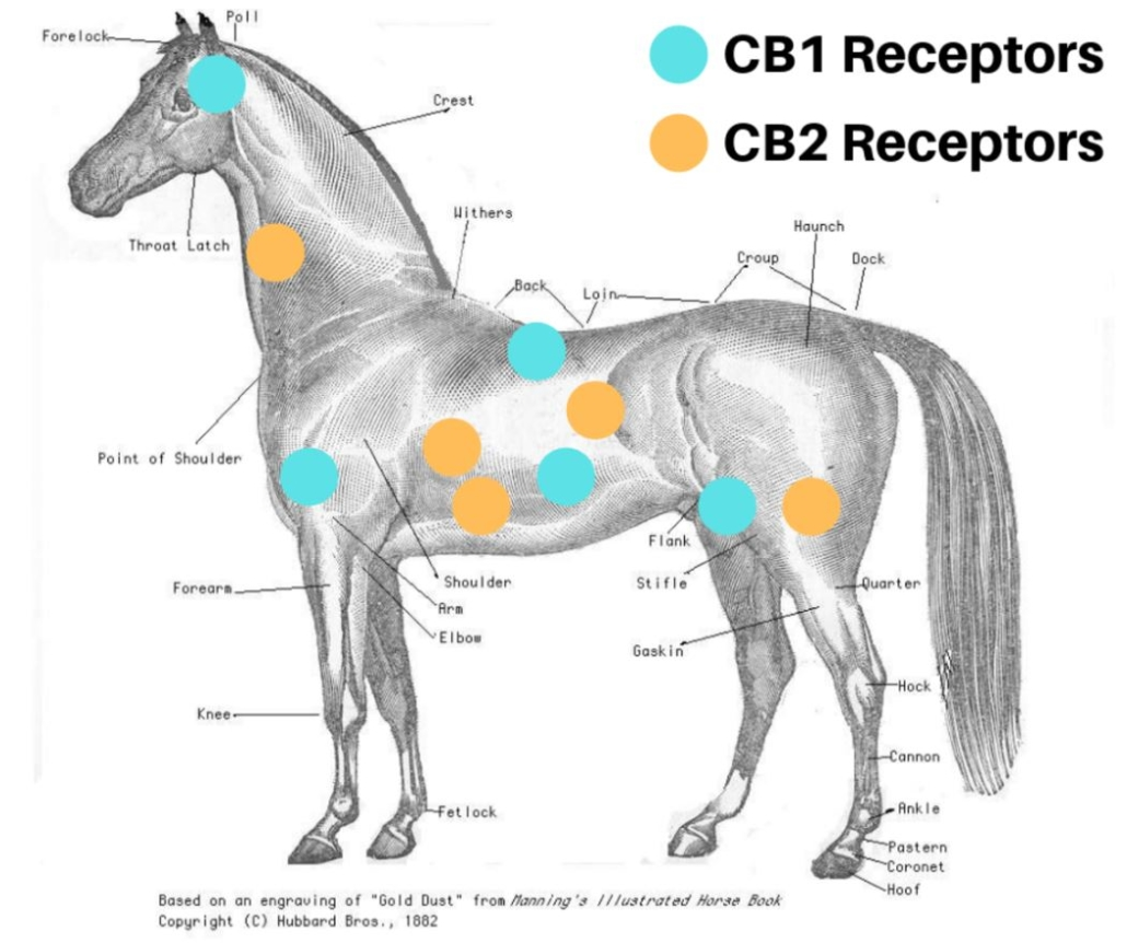 Endocannabinoid System in Horses