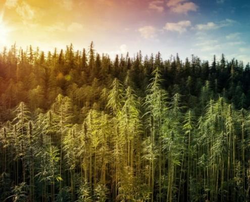 Hemp Trees