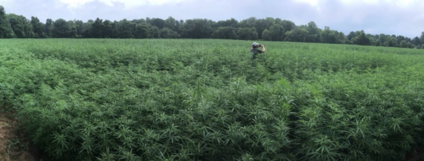 Hemp Flowers Field